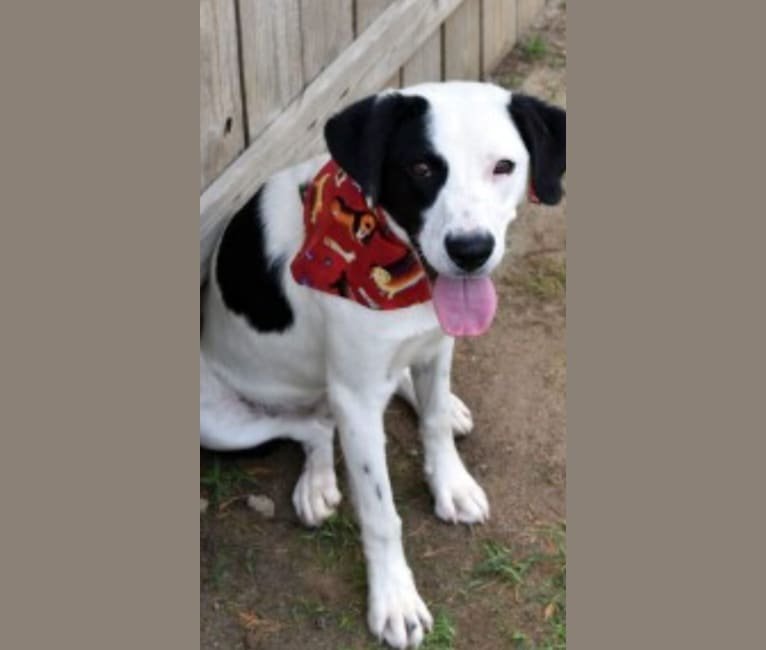Photo of Harvey, an American Foxhound, American Bulldog, Boxer, and American Pit Bull Terrier mix