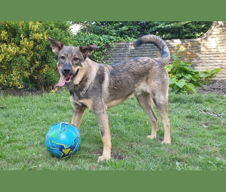 Photo of Django, an Eastern European Village Dog  in Constanța, Constanța County, Romania