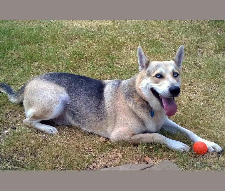 Photo of Skye, a Siberian Husky and German Shepherd Dog mix in Dallas, Texas, USA