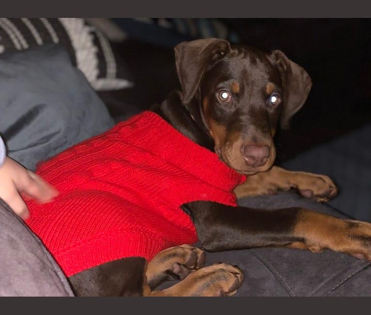 Photo of Reba, a Doberman Pinscher  in Alpharetta, GA, USA
