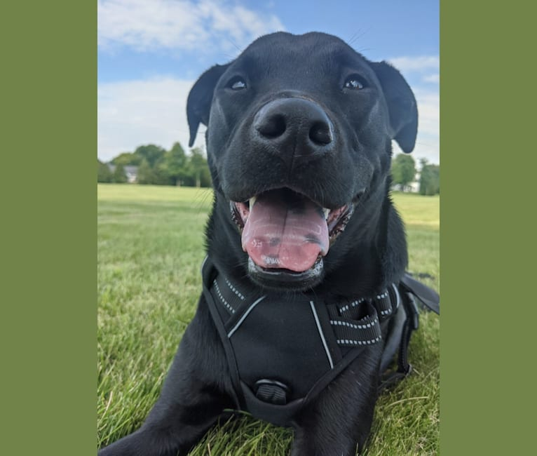 Photo of Waffles, a Labrador Retriever, Chow Chow, Boxer, American Pit Bull Terrier, and Mixed mix in Mississippi, USA