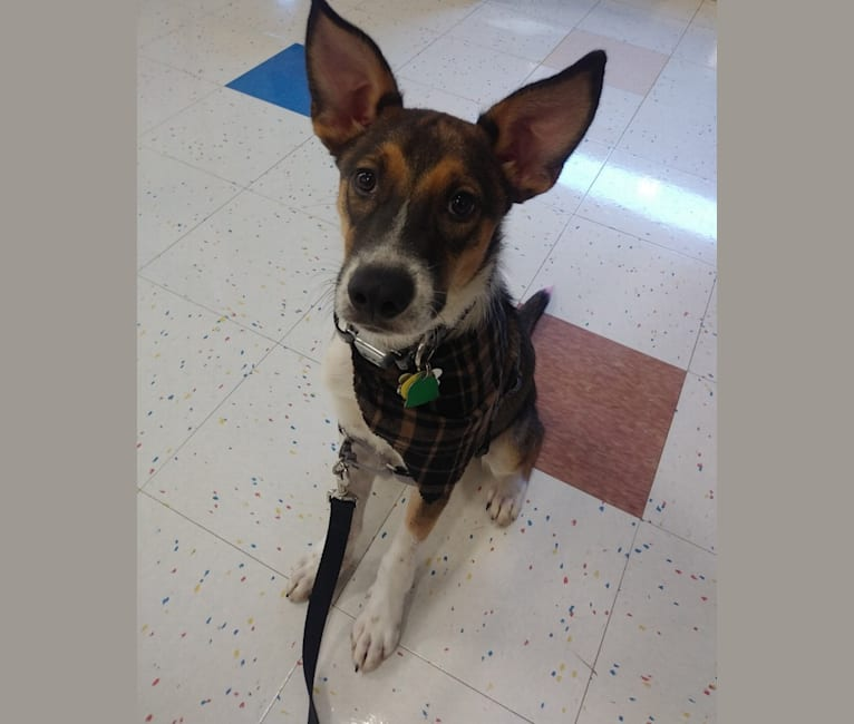 Photo of Sage, an American Pit Bull Terrier, Australian Cattle Dog, Black and Tan Coonhound, and Mixed mix in Alabama, USA