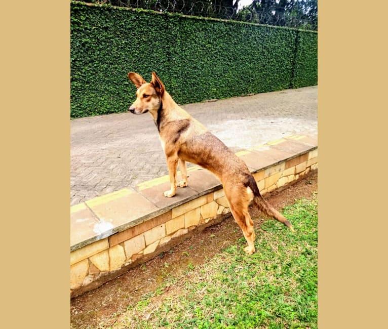 Photo of Naya, an African Village Dog  in Nairobi, Nairobi County, Kenya