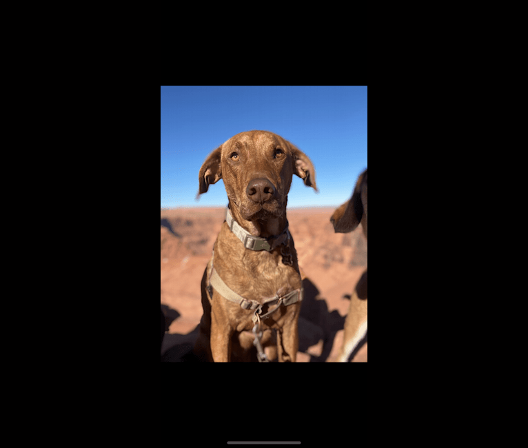 Photo of Lloyd, a Mountain Cur, American Pit Bull Terrier, Beagle, and Mixed mix in Alabama, USA