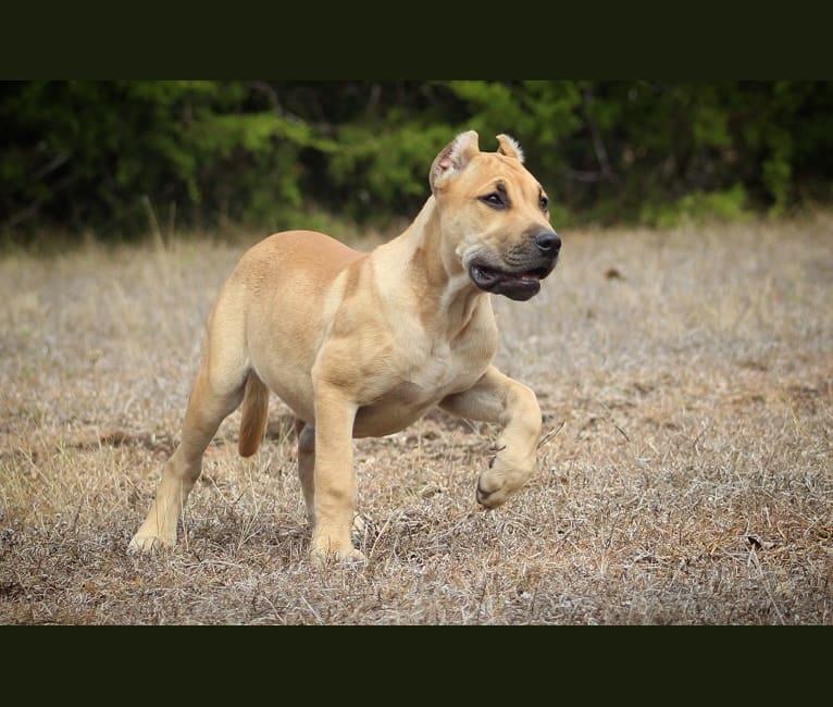 Photo of Kat, a Perro de Presa Canario  in Topeka, KS, USA