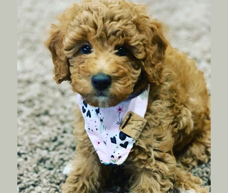 Photo of Ginger (Lula Belle Rose), a Poodle (Small)  in Idaho, USA