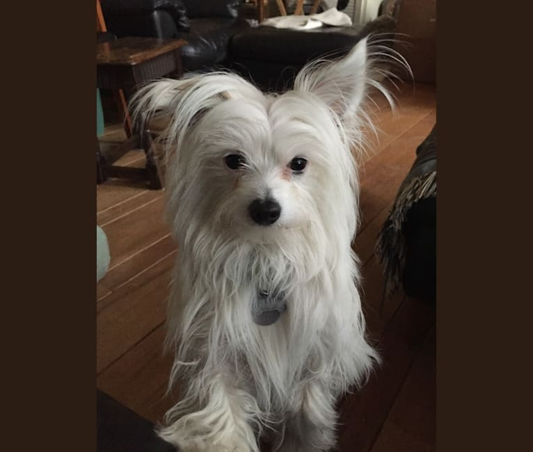 Photo of Ollie, a Chihuahua and Pomeranian mix in Los Angeles, California, USA