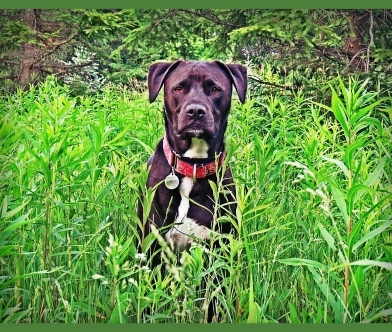 Photo of Drogo Khal, an American Pit Bull Terrier, American Bulldog, American Staffordshire Terrier, and Rottweiler mix in Detroit, MI, USA