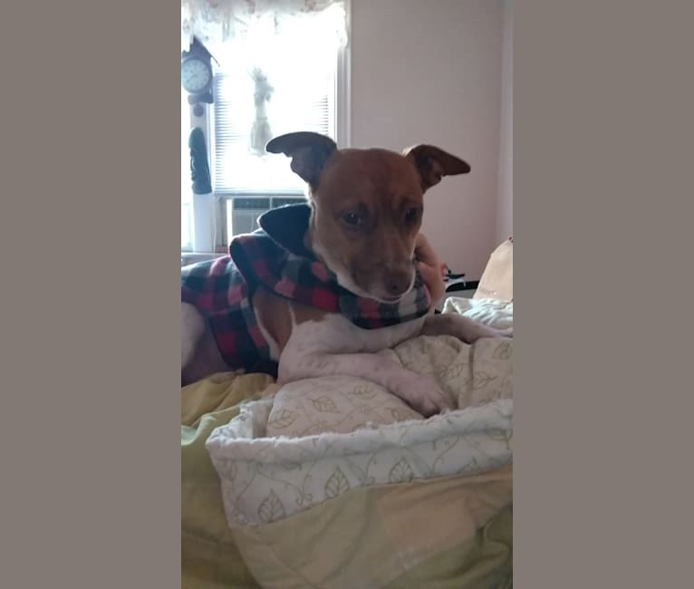 Photo of S'mores, a Rat Terrier, Chihuahua, and Mixed mix in Douglasville, Georgia, USA