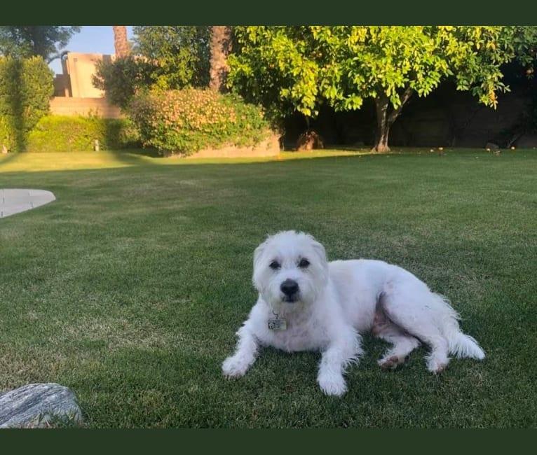 Photo of Stiglitz, a Poodle (Small), Chihuahua, Pomeranian, Dachshund, and Mixed mix in Rancho Mirage, California, USA