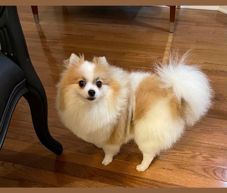 Photo of Eleanor, a Pomeranian  in Southfield, Michigan, USA