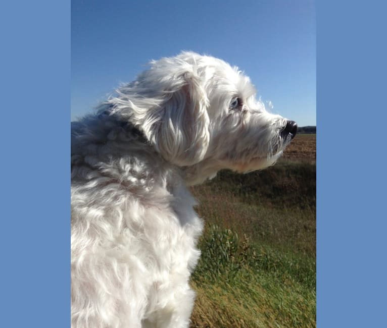Photo of Simon Mose Bright, a Lhasa Apso and Bichon Frise mix in Madison, Wisconsin, USA