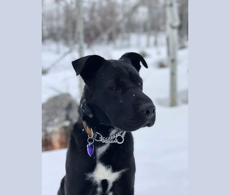 Photo of Leroy, a Border Collie, Australian Shepherd, American Pit Bull Terrier, and Chow Chow mix in USA