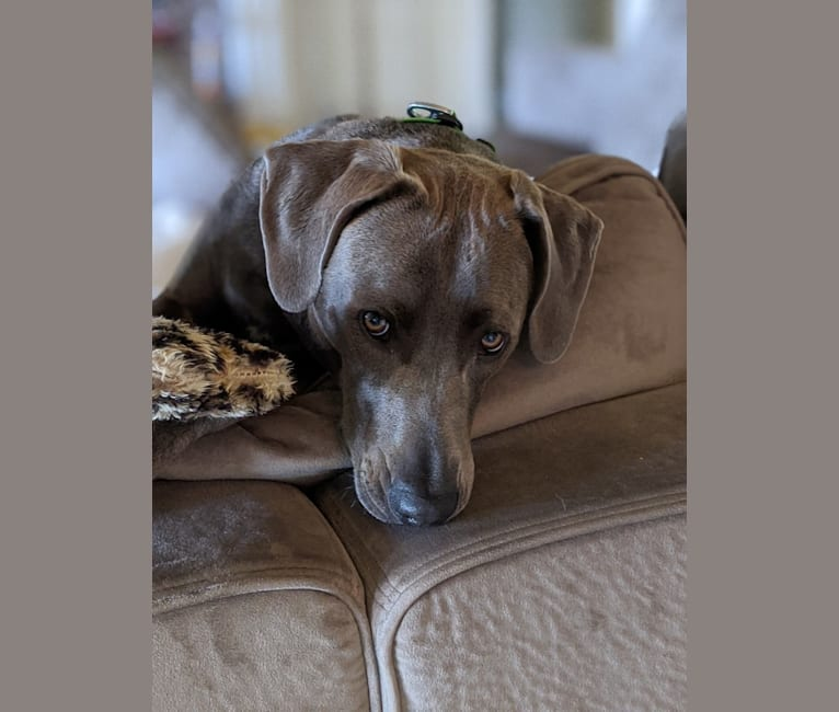 Photo of Bandit, a Blue Lacy  in Rockwall, Texas, USA