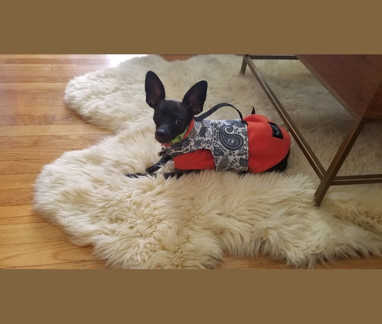 Photo of Lucy, a Chihuahua, Rat Terrier, Poodle (Small), and Mixed mix in San Jose, California, USA