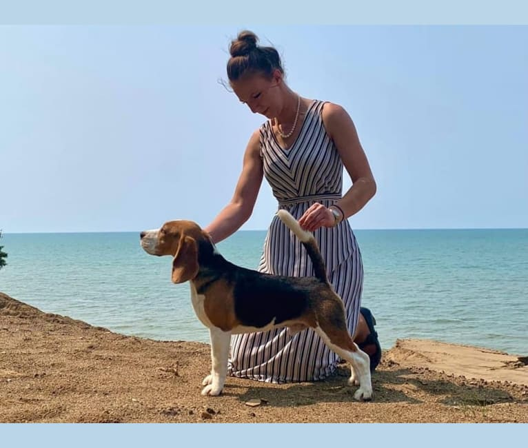 Photo of James, a Beagle