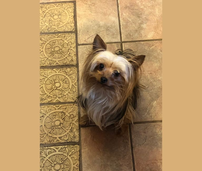 Photo of Olaf, a Yorkshire Terrier  in Aurora, MO, USA