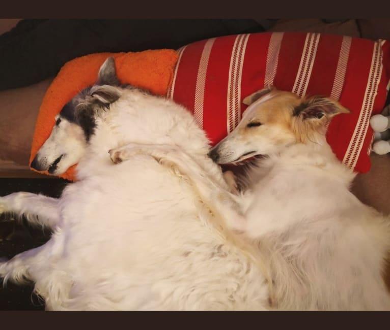 Photo of Starborough Kissed by Fate - Kimmy, a Silken Windhound  in England, Združeno kraljestvo
