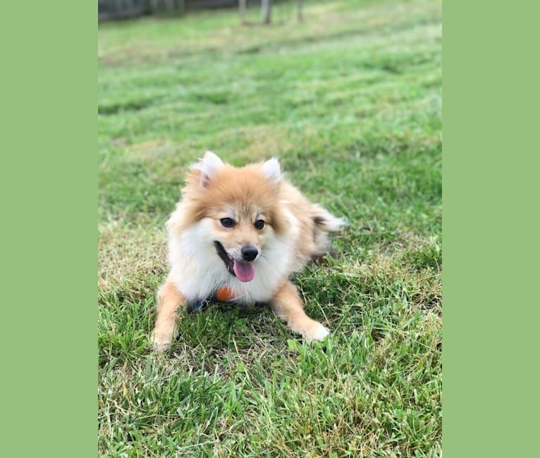 Photo of Tucker, a Pomeranian  in San Diego, California, USA