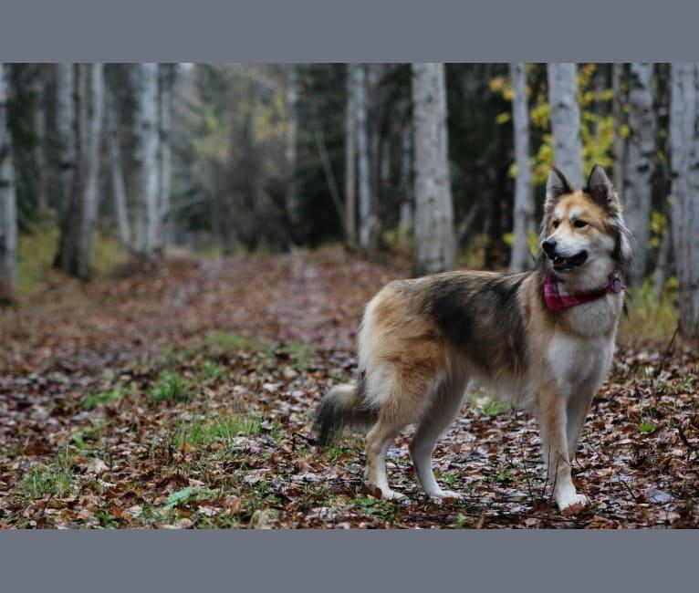 Photo of Griz, a Siberian Husky and Alaskan-type Husky mix in Fairbanks, Alaska, USA