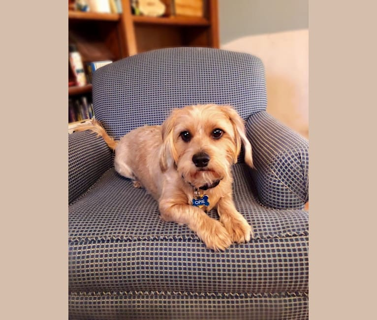 Photo of Opie, a Shih Tzu, Rottweiler, Dachshund, Miniature Pinscher, and Miniature Schnauzer mix in Irving, Texas, USA