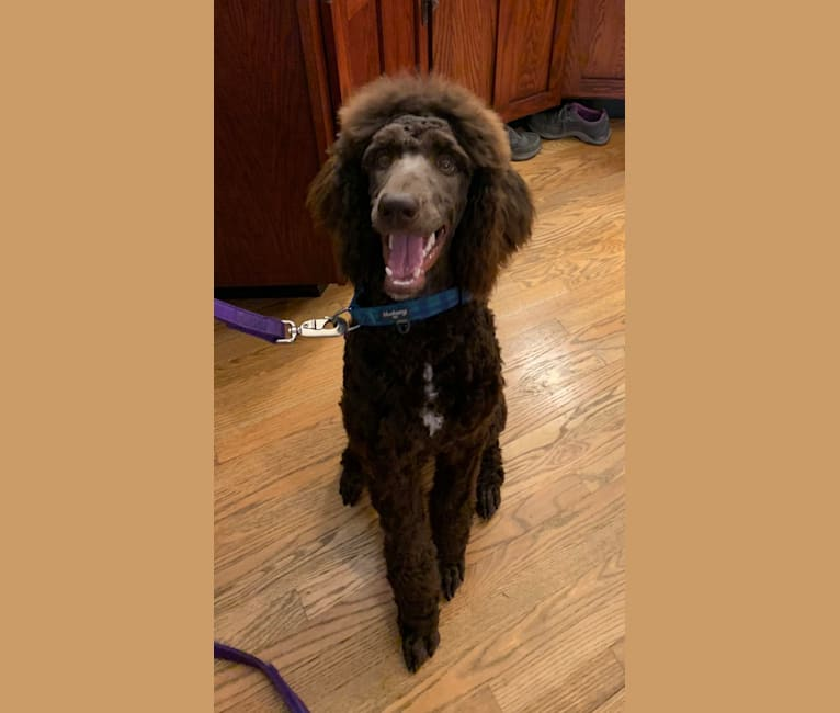 Photo of Watson, a Poodle (Standard)  in Grundy Center, IA, USA