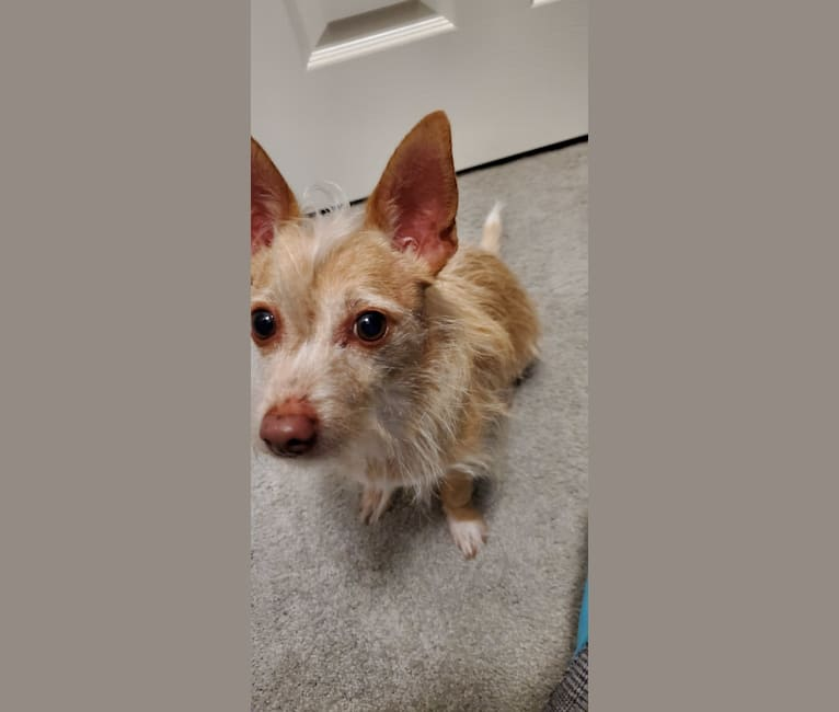 Photo of Cooper, a Chihuahua, Maltese, Russell-type Terrier, Miniature Pinscher, and Dachshund mix in Mansfield, Texas, USA