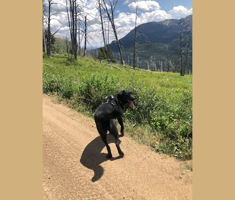 Photo of Kona, an Akita, Australian Cattle Dog, Rottweiler, and Labrador Retriever mix in Billings, Montana, USA