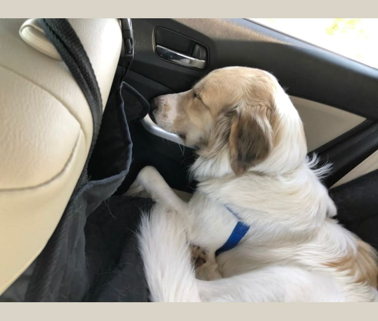 Photo of Captain, a Great Pyrenees and American Foxhound mix in Austin, Texas, USA
