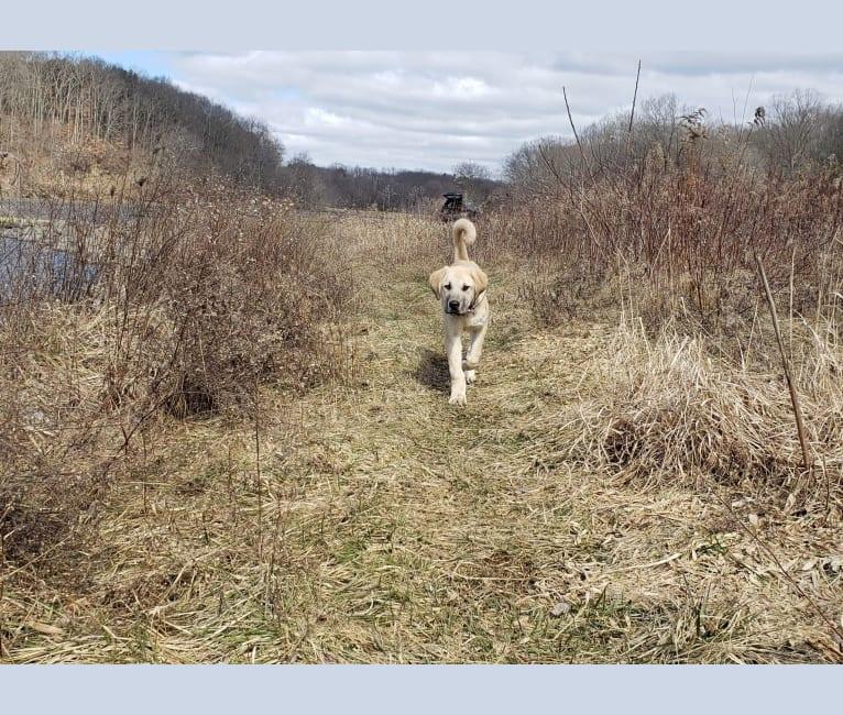 Photo of Doughnut, an Anatolian Shepherd Dog  in Culpeper, Virginia, USA