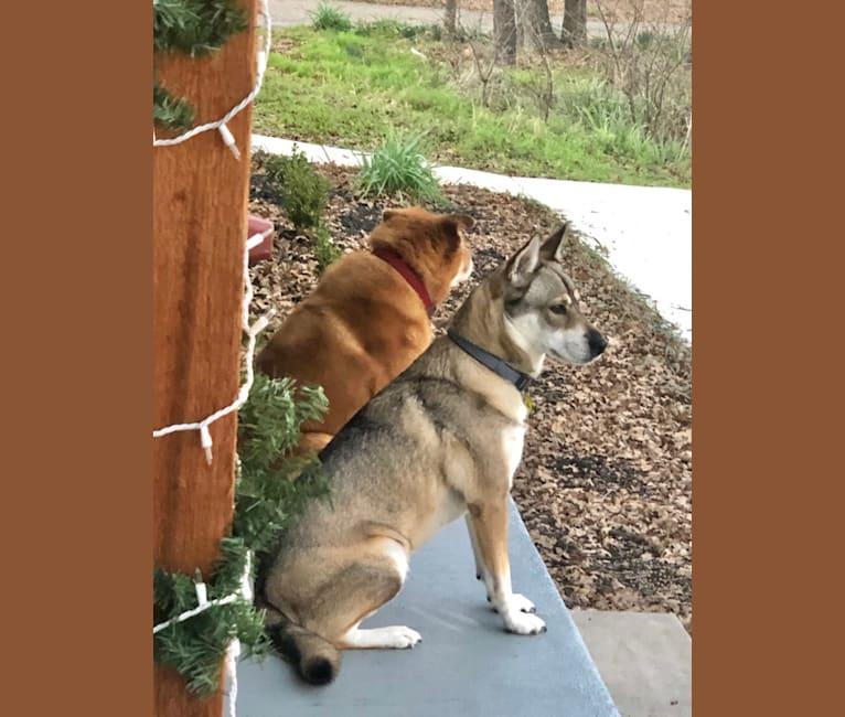 Photo of Kaeko, a Siberian Husky, Chow Chow, and Rottweiler mix in Burleson, Texas, USA