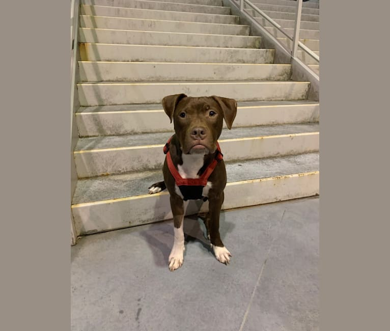Photo of Jameson 🍀, an American Pit Bull Terrier and American Staffordshire Terrier mix in Nashville, Tennessee, USA