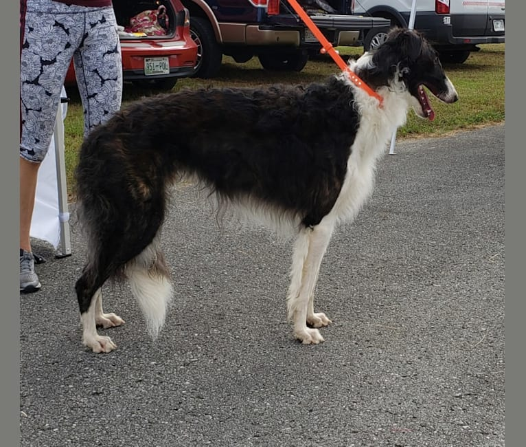 Photo of Dante, a Borzoi  in Clinton, TN, USA