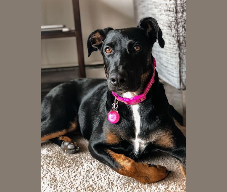 Photo of Callie, a German Shepherd Dog, Doberman Pinscher, and American Staffordshire Terrier mix in Bakersfield, California, USA