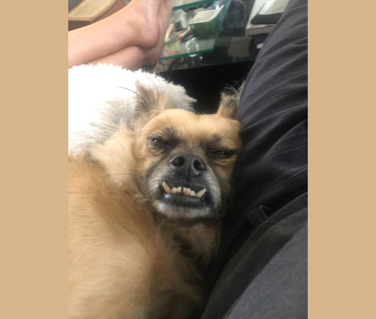 Photo of Ike, a Chihuahua, Cocker Spaniel, Pug, Pomeranian, and Poodle (Small) mix in Redlands, California, USA