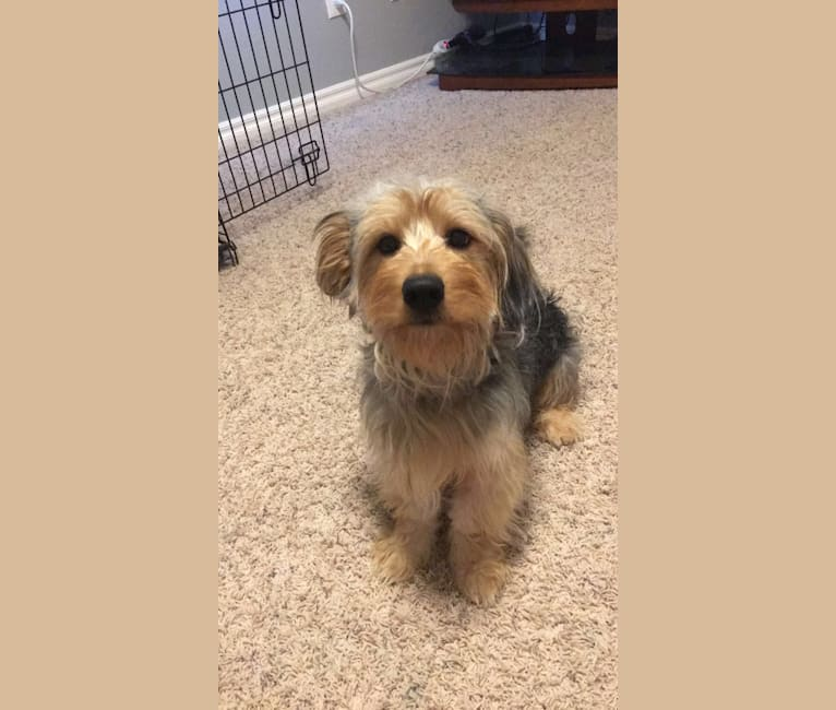 Photo of Bowii, a Yorkshire Terrier, Beagle, Chihuahua, Australian Shepherd, Dachshund, and Poodle (Small) mix in Blanchard, Oklahoma, USA