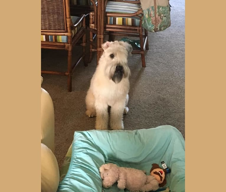 Photo of Otis, a Soft Coated Wheaten Terrier  in Hernando, FL, USA