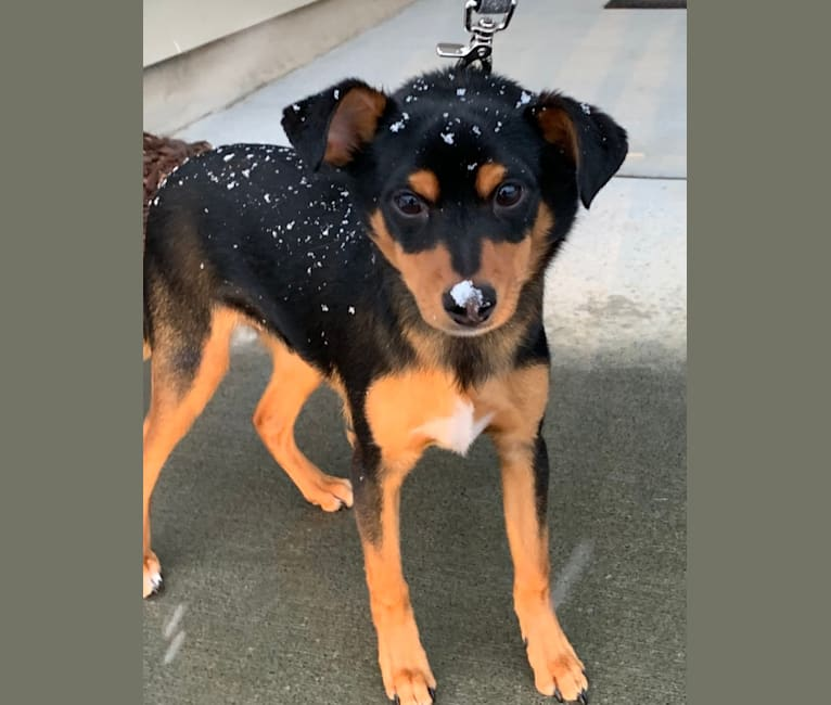 Photo of Koda, a Rat Terrier, Miniature Pinscher, and Chihuahua mix in Durham, North Carolina, USA
