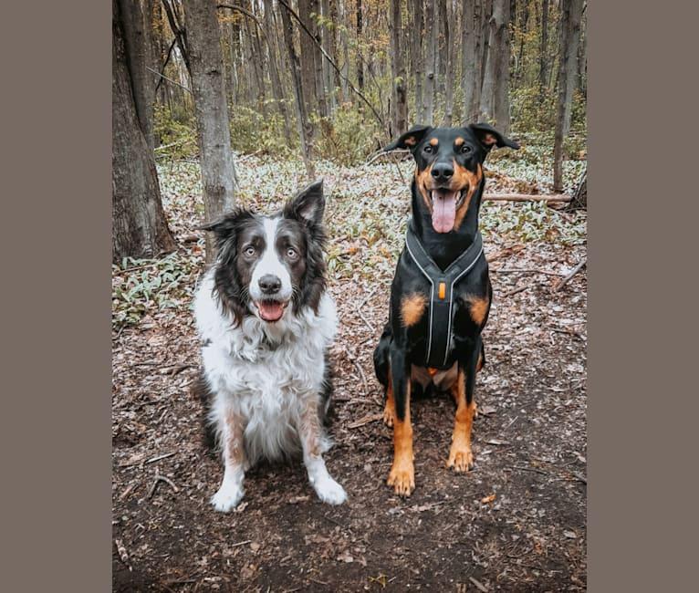 Photo of Hati, a Doberman Pinscher, German Shepherd Dog, and Australian Cattle Dog mix in Murillo, Ontario, Canada