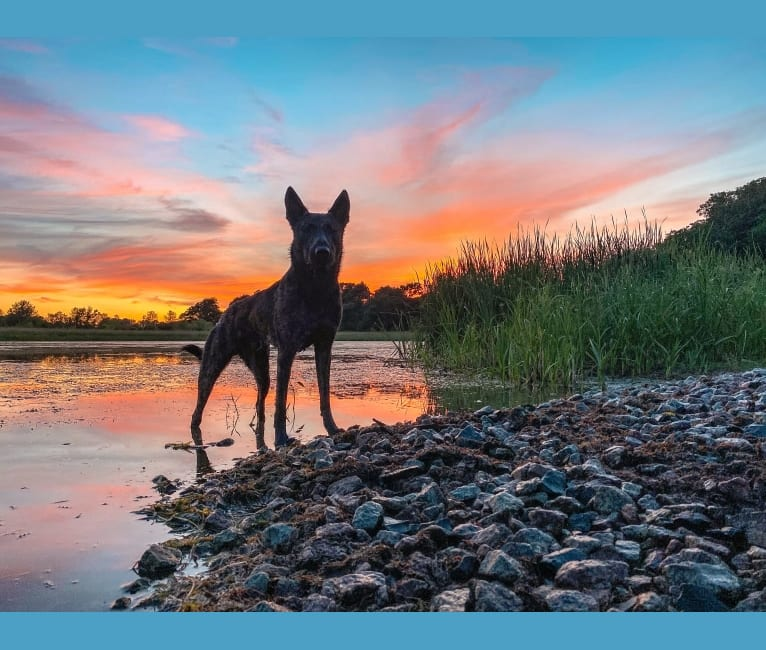 "Photo of Brace for impact van Helios ""Rogue"", a Dutch Shepherd  in Taylors Falls, MN, USA"