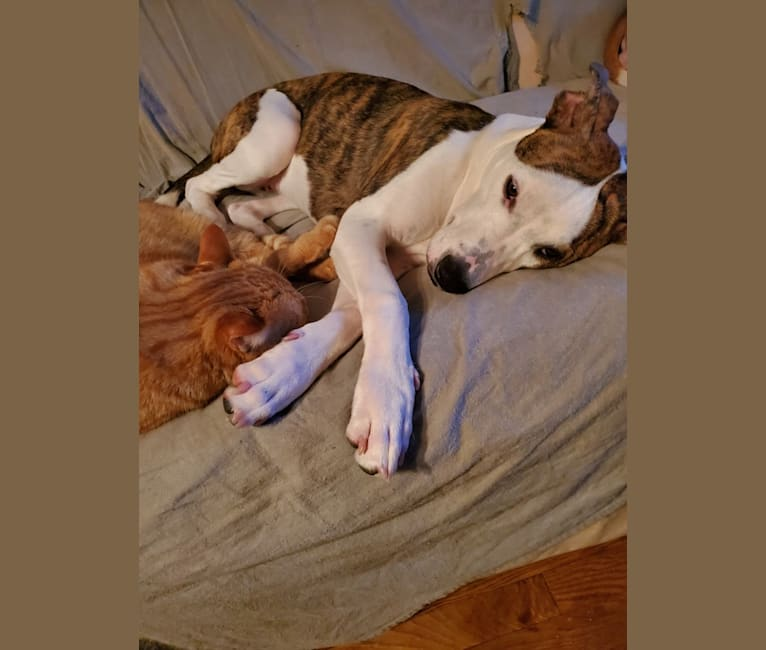 Photo of Scarlett, an American Pit Bull Terrier, American Staffordshire Terrier, and Siberian Husky mix in Midland, Michigan, USA