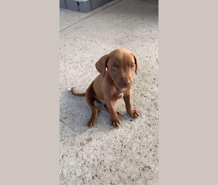 Photo of Kingston, a Weimaraner, Labrador Retriever, American Pit Bull Terrier, and Golden Retriever mix in Ontario, California, USA