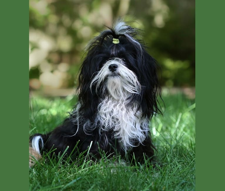 Photo of Bingo, a Chihuahua, Shih Tzu, Poodle (Small), and Bichon Frise mix in British Columbia, Canada