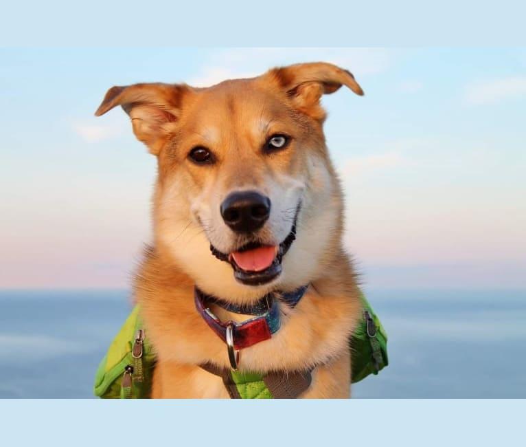 Photo of Spiro, a German Shepherd Dog, Alaskan Malamute, Siberian Husky, Labrador Retriever, and Golden Retriever mix in Natuashish, Newfoundland and Labrador, Canada