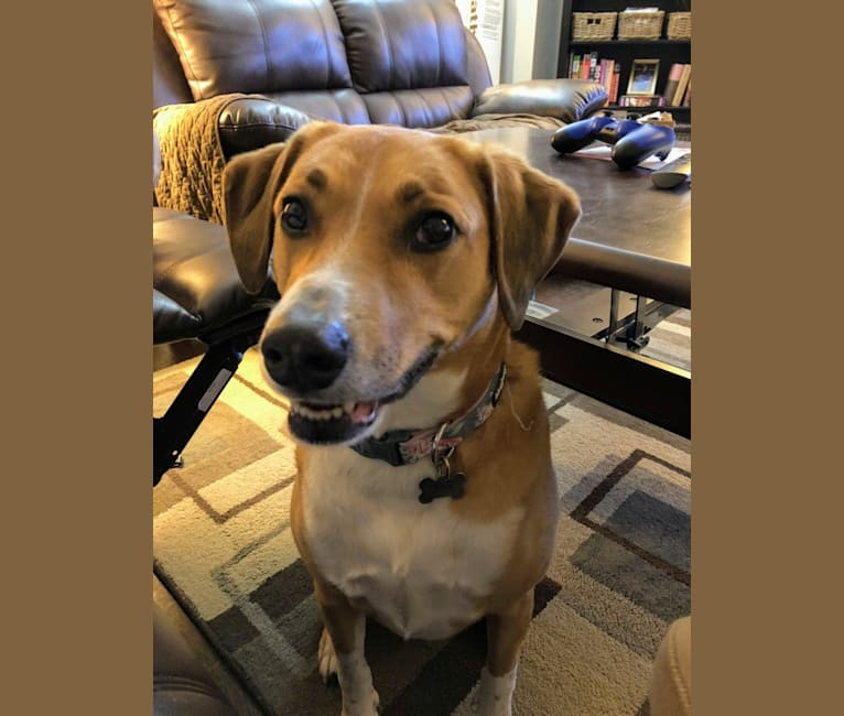 Photo of Lucy, an Australian Cattle Dog, Rottweiler, Labrador Retriever, and Mixed mix in Georgia, USA