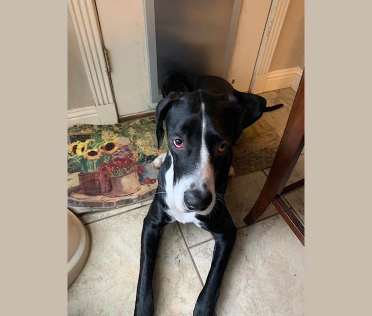 Photo of Jaxson, a Great Dane  in Hurst, Texas, USA