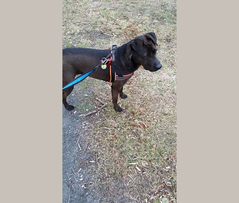 Photo of Persephone-Luna Armstrong (Perci), an American Pit Bull Terrier, Chow Chow, Labrador Retriever, German Shepherd Dog, and Mixed mix in South Carolina, USA