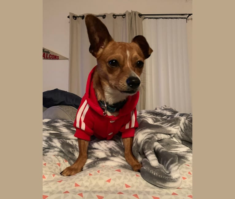 Photo of Ozzy, a Chihuahua, Yorkshire Terrier, and Rat Terrier mix in Hayward, California, USA