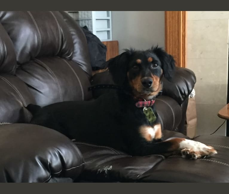 Photo of Colt, a Rat Terrier, Bluetick Coonhound, Mountain Cur, and Mixed mix in Faribault, MN, USA