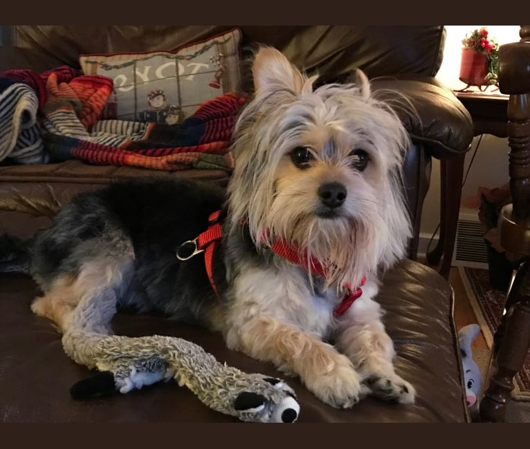 Photo of Roscoe, a Maltese and Chihuahua mix in Delaware, USA